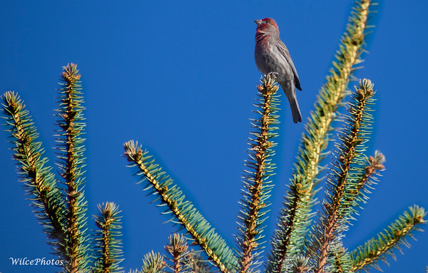 Cassin's FInch Singing