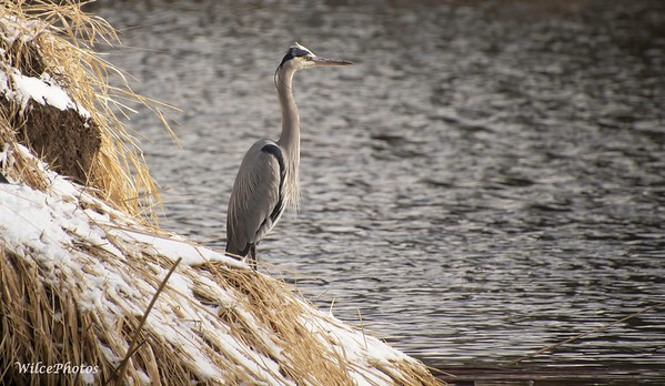 GreatBlueHeron (Photo #0573)