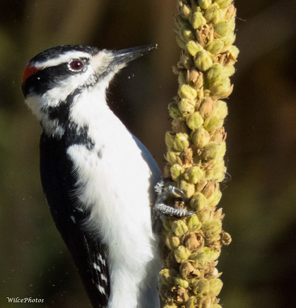 Woodpecker on Mullein