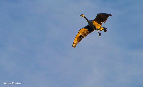 Goose landing (#2056)
