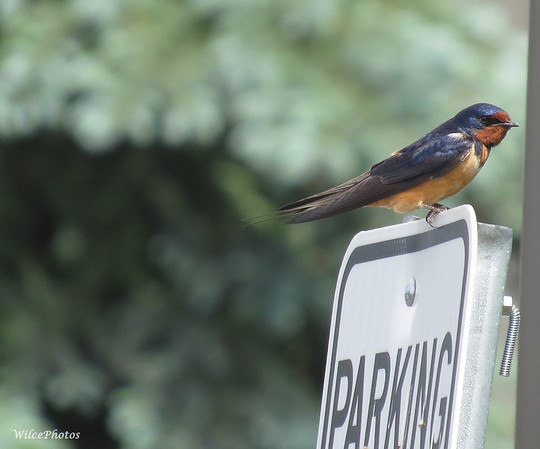 Barn Swallow