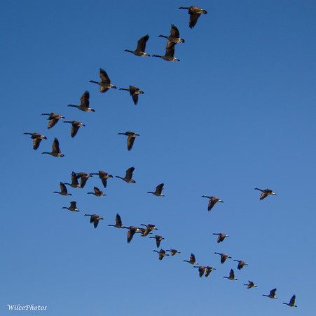 Geese Flying In V-Formation (Photo #7611)