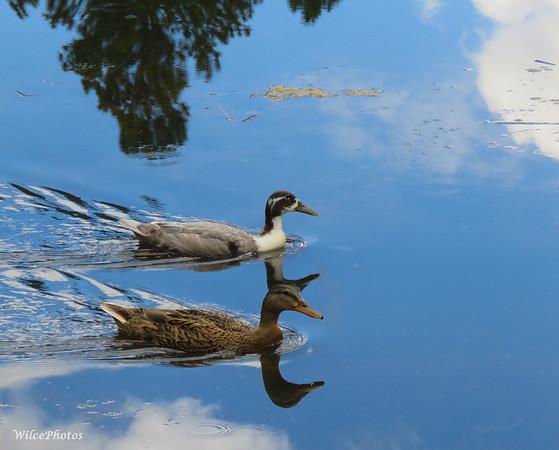 Mallard and Hybrid Duck