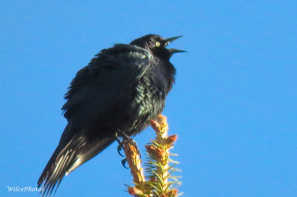 Brewer's Blackbird?