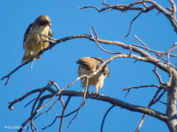 Mating Pair of Red-Tailed Hawks