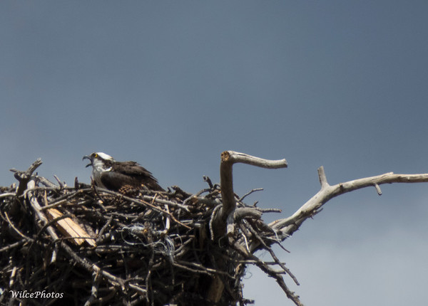 Osprey; (Photo #5976B)