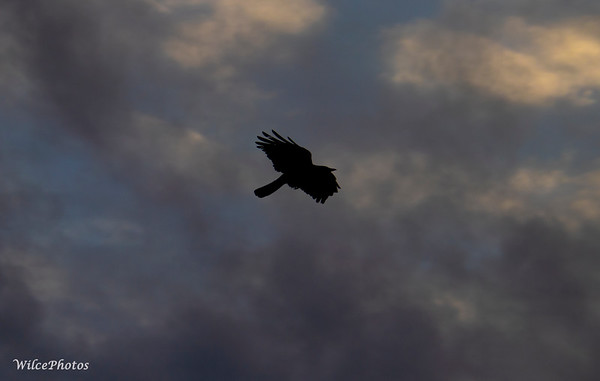 Raven Beneath Clouds (Photo#3025)