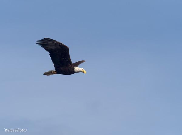 Bald Eagle In Flight (Photo #P7200733)