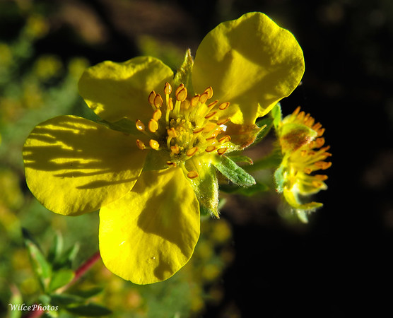 Potentilla (Shrub)
