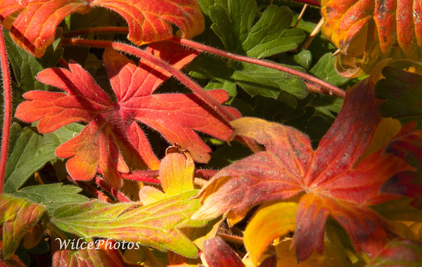 Geranium Leaves (Photo #0049)