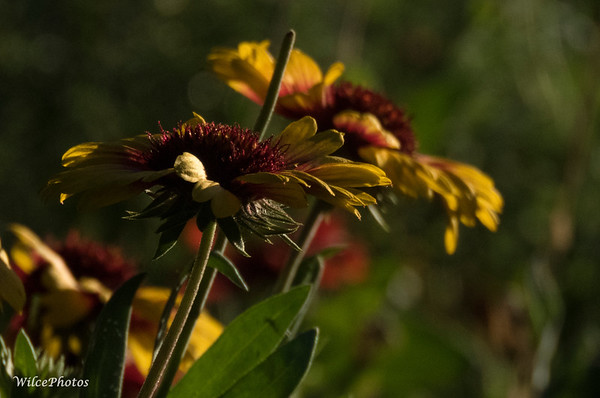 Blanket Flower Backlit