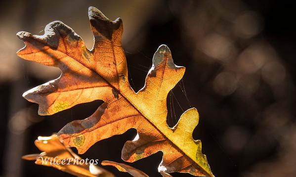 Oak Leaf; (Photo#0606)