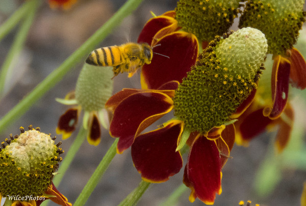 Honey bee approaching Mexican Hat