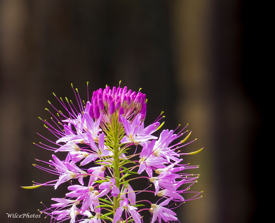 Rocky Mountain Bee Plant