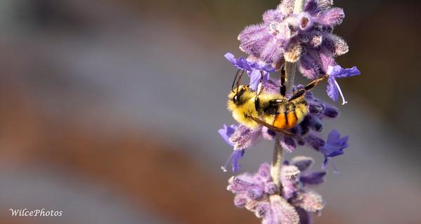 Tri Colored Bumblebee; (Photo #8374)