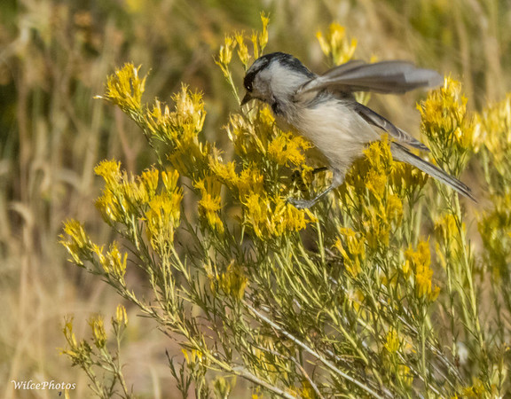 Mountain Chickadee In Rabbit Brush