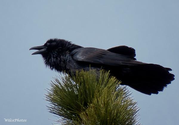Raven's neck