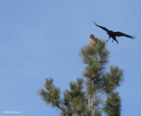 Raven vs. Red-tailed hawk