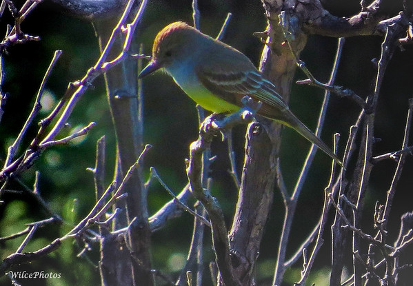 Flycatcher (Dusky-Capped?)