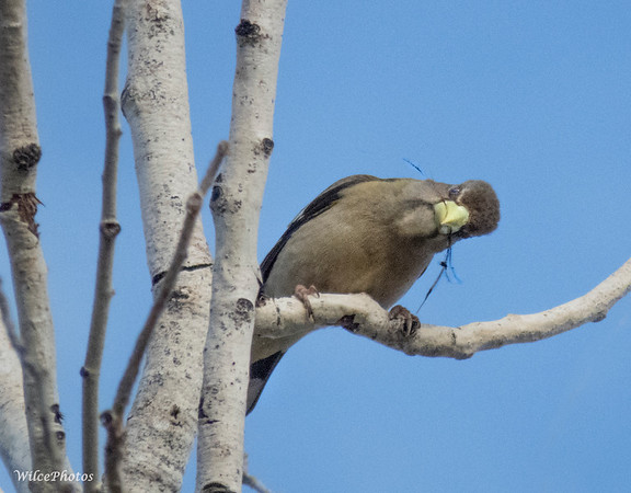 Female Evening Grosbeak With Nesting Material