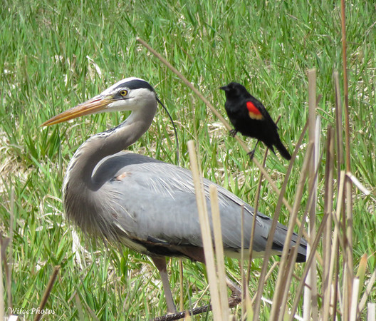 Red-Winged Blackbird And Great Blue Heron