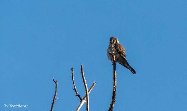 Kestrel Atop Snag (Photo #0020)