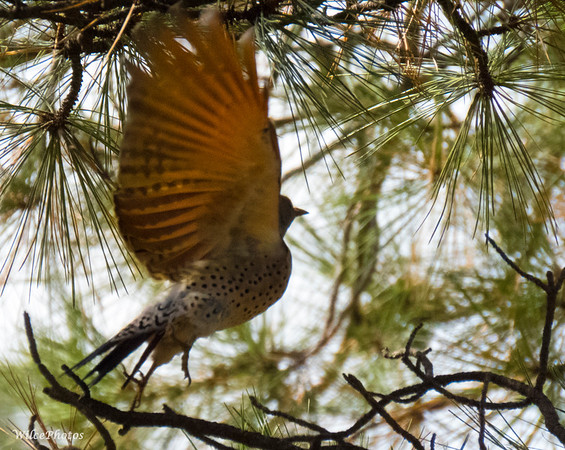 Flicker Near Pond