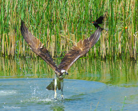 Red-winged Blackbird and Osprey