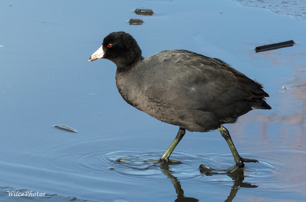 Coot walking on Ice