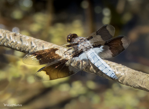 Common Whitetail Dragonfly;