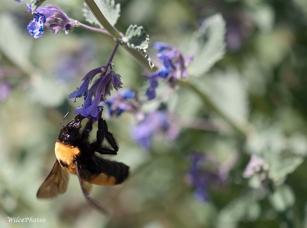 Bumblebee On Catmint (Photo #P5277064)