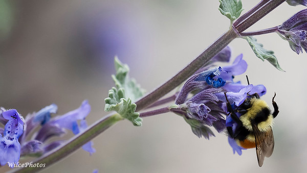 TriColoredBumblebee(Photo #P5266093)