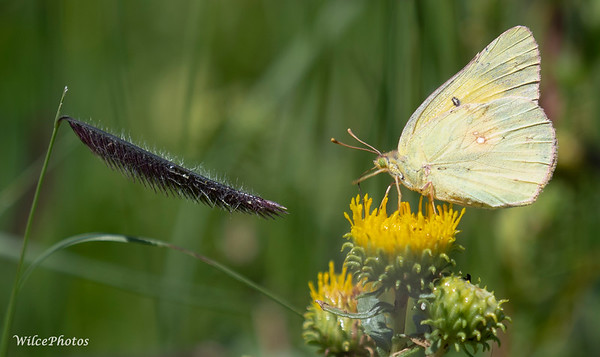 SulphurButterfly (Photo #P8264854)