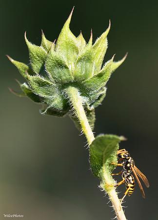 YellowJacketWaspOnVerticalSunflowerStalk; (Photo #P8264840)