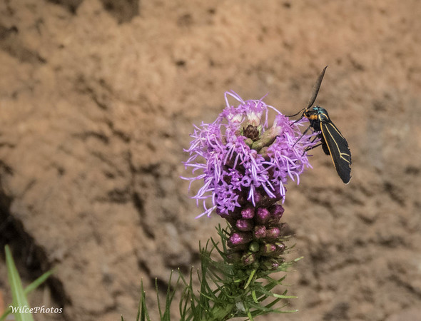Veined Ctenucha Moth On Liatris