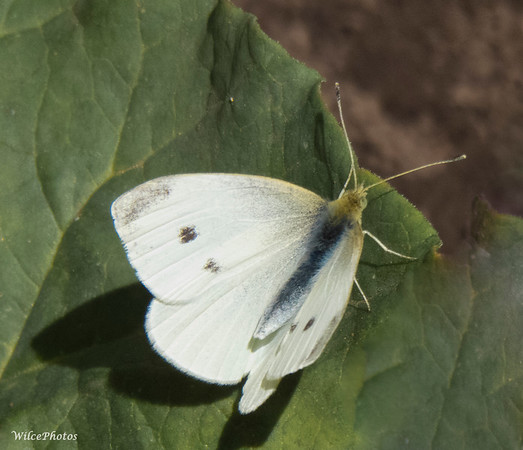 """Small White"" (aka ""Cabbage"") Butterfly"