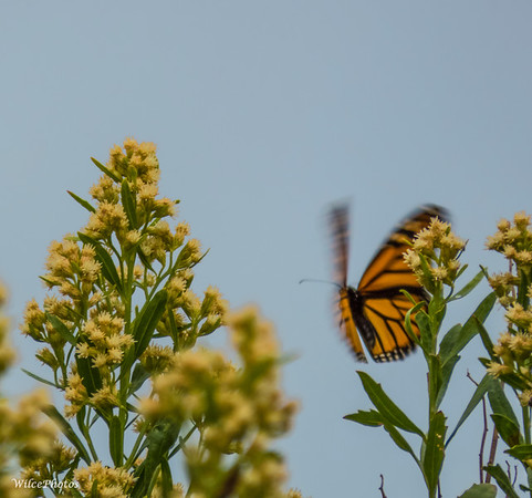 (Male?) Monarch