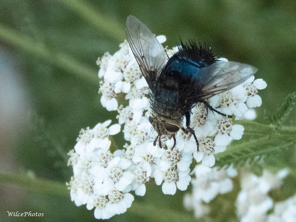Blue Fly On Yarrow