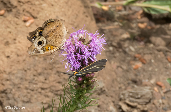 Buckeye Butterfly And Veined Ctenucha Moth