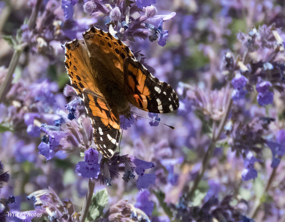 Painted Lady on (Catmint?)