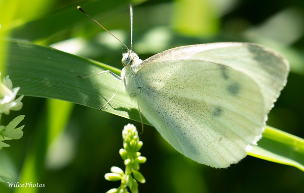 Cabbage Butterfly (Photo #P8078406)
