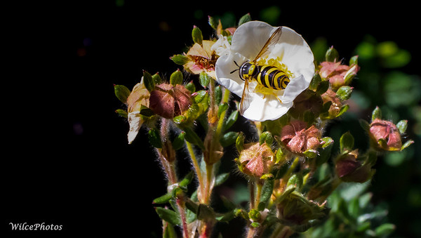 Wasp On Potentilla (Photo #8008)