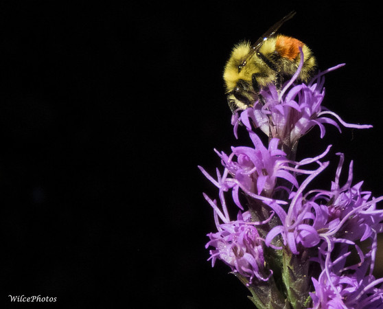 Bumblebee On Liatris
