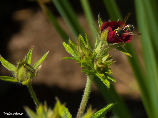 """CuckooBee"" On Potentilla"