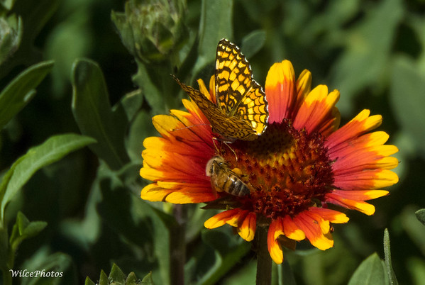 Bee And Painted Lady On Blanket Flower;