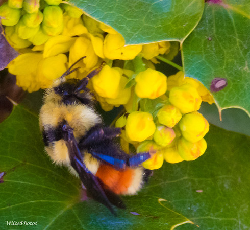 Tri-colored bumblebee;