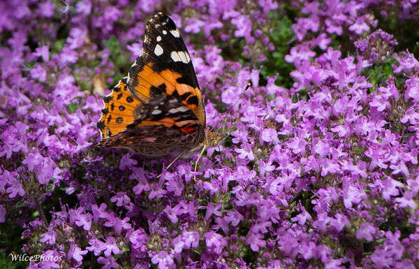 Painted Lady (Photo #1663)