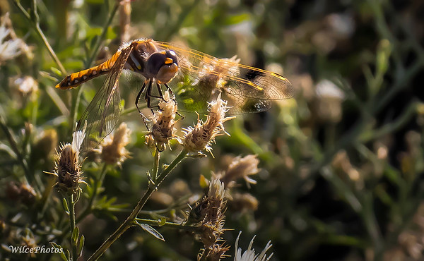 VariegatedMeadowhawk?; (Photo #4344)