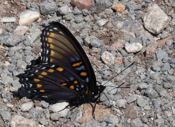 Arizona Red-Spotted Purple Butterfly