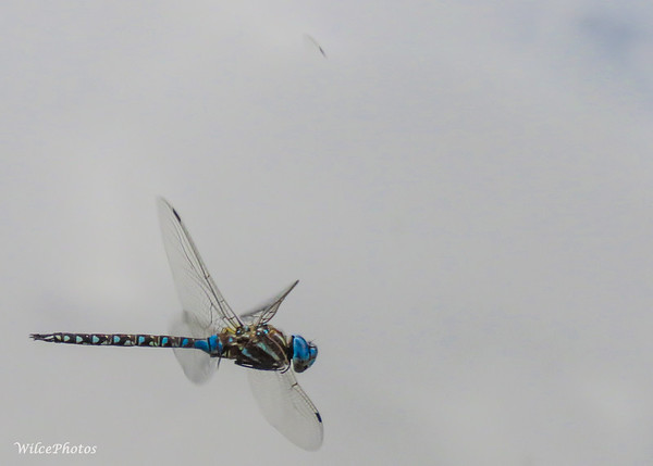 Blue-Eyed Darner Hovering